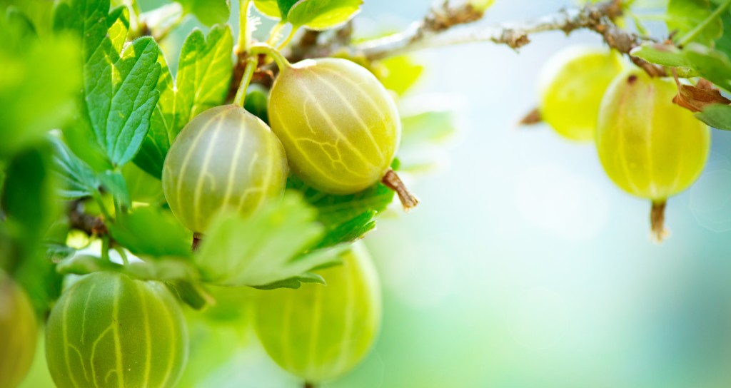 superfood Gooseberry-Fresh-and-Ripe-Org-47404315
